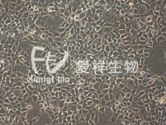 CRL-1573 293 人胚肾细胞核ATCC 细胞核|细胞核系