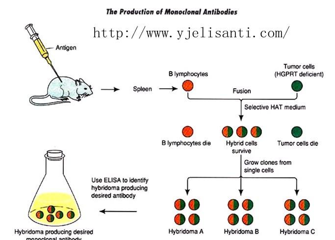 单克隆抗体研究中实验动物的制备流程