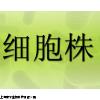 传代细胞,LM/TK(LMTK-)细胞,小鼠胸腺激酶缺陷细胞