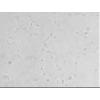 H446/VP细胞- H446/VP耐药株