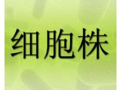 A2780/DDP细胞,人卵巢癌耐DDP细胞 耐药细胞