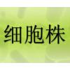A2780/DDP细胞,人卵巢癌耐DDP细胞|耐药细胞