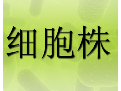 MV-4-11细胞|人慢性骨髓单核白血病细胞|热卖细胞