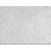 CBRH-7919细胞,CBRH-7919,鼠肝癌细胞