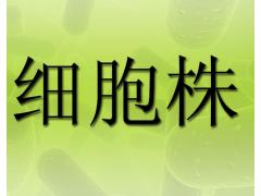 SU-DHL-8细胞