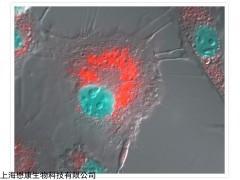 LysoTracker Red DND-99 溶酶體熒光探針