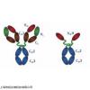 大肠杆菌志贺样毒素Ⅱ型突变体(O139菌型)抗体