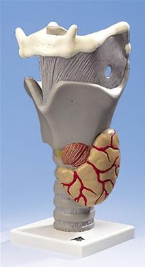 嗓子的结构图